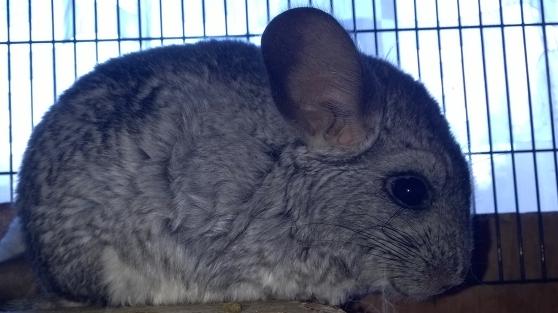 Annonce occasion, vente ou achat 'chinchillas fem blanche et male gris'