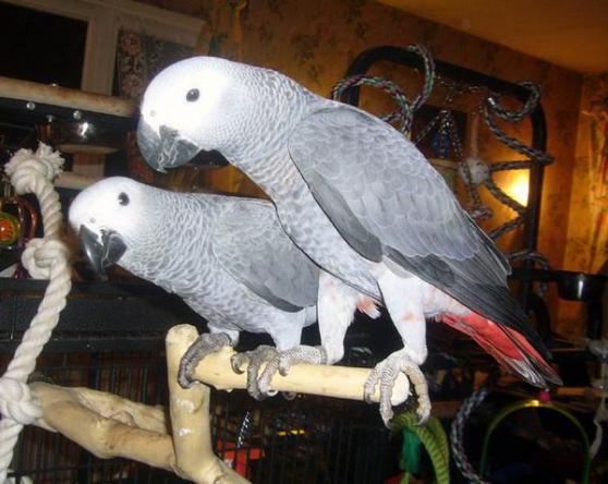 Annonce occasion, vente ou achat 'Couple de perroquet Type Gris du Gabon'
