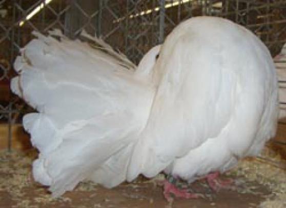 pigeon fantail marseille