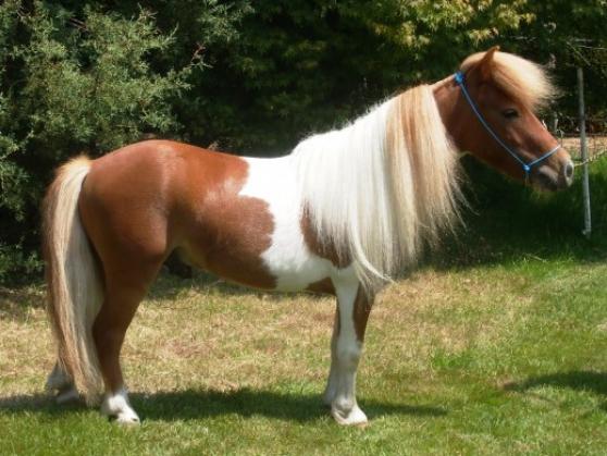 Annonce occasion, vente ou achat 'Cede Bon poney 5ans idéal'