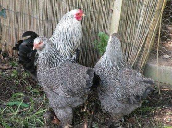 poule brahma argentee