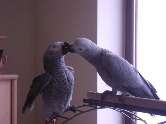 Belle couple de Gris du Gabon