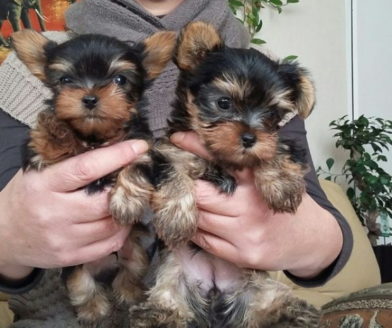 Chiots yorkshire