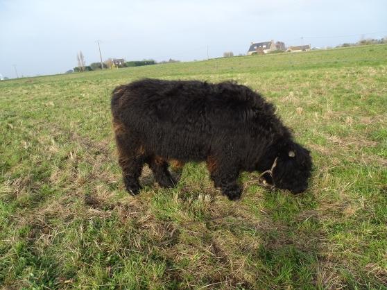 vend highland cattle, veau mâle.