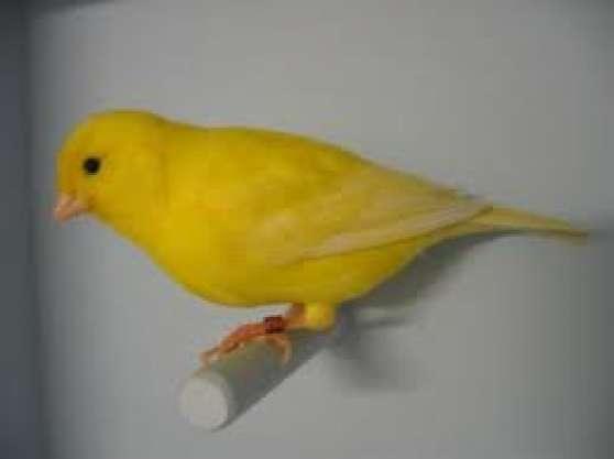 cherche canaris à acheter femelle/male