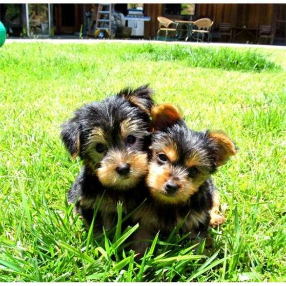 Adorable Mini Chiots Yorkshire