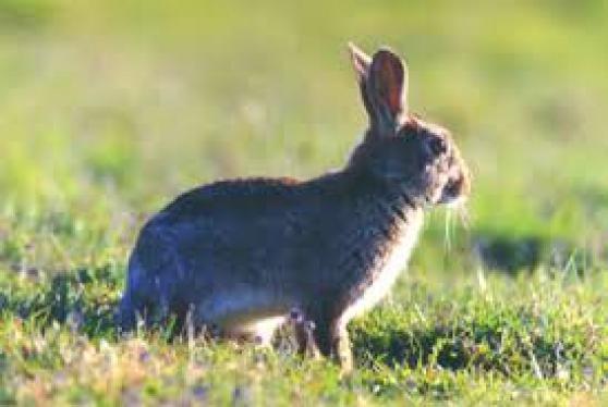 Annonce occasion, vente ou achat 'Régulation lapin garenne / furetage'