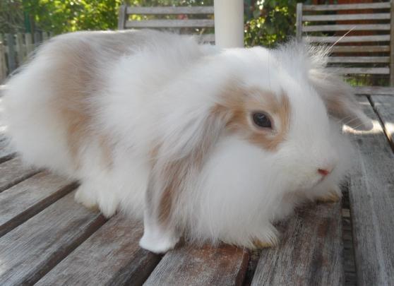Annonce occasion, vente ou achat 'bébé lapin bélier'