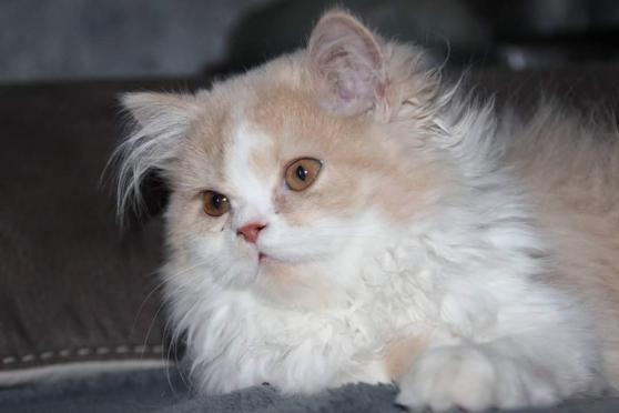 Magnifique chaton persan