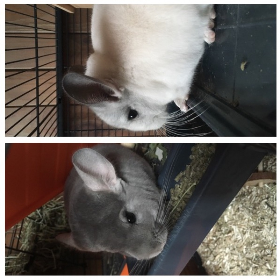 Chinchillas Mâles