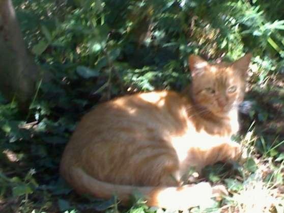 Urgent donne beau chat roux de 7 ans
