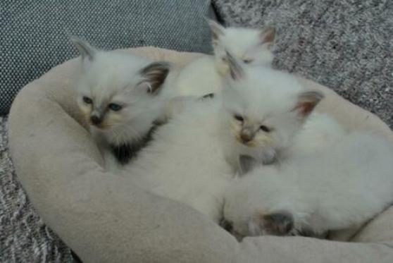 chatons sacre de birmanie loof - Annonce gratuite marche.fr