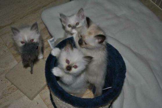 adorables chatons sacre de birmanie - Annonce gratuite marche.fr