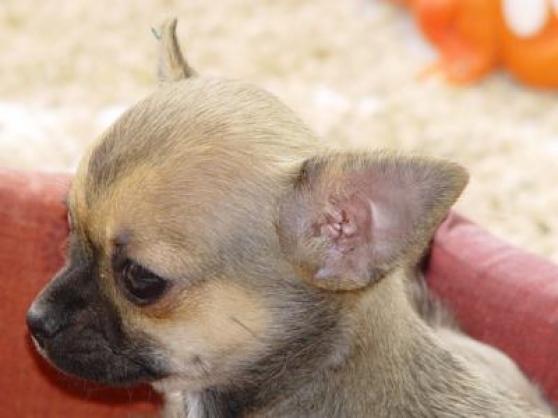 Chihuahua recherche une famille