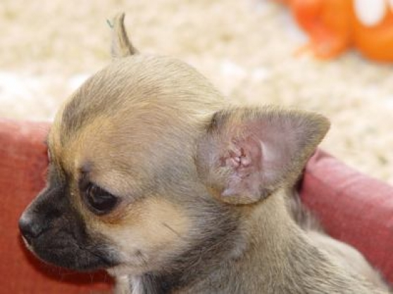 chihuahua recherche une famille rouen animaux dons de chiens rouen reference ani don chi. Black Bedroom Furniture Sets. Home Design Ideas