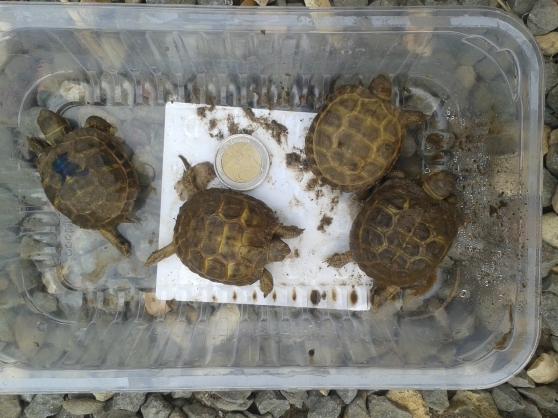 Annonce occasion, vente ou achat 'vends des tortues terrestres'