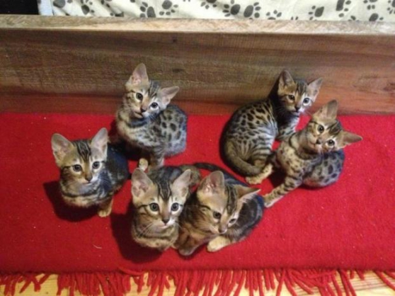 Adorables chatons bengal