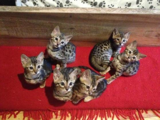 adorables chatons bengal - Annonce gratuite marche.fr