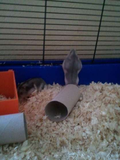 bébés Hamsters Russes