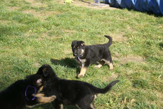 Superbes chiots type Berge all à adopter