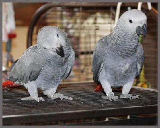 perroquets gris du Gabon élevés à la ma