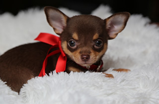 Annonce occasion, vente ou achat 'Adorables chihuahua chocolat lof'