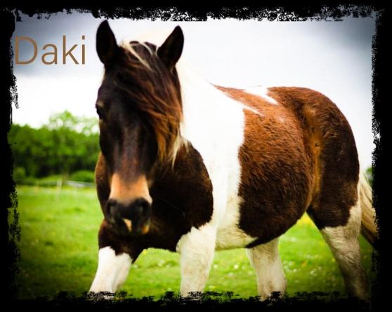 Annonce occasion, vente ou achat 'Grand poney pottok Pleins papiers pie'