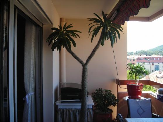 Annonce occasion, vente ou achat 'palmier de madagascar'