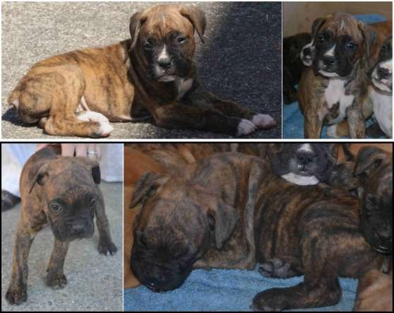 Chiots D Apparence Boxer A Adopter Marche Fr