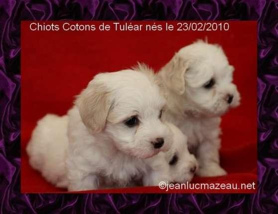 Vente chiot coton de Tuléar et bichon fr
