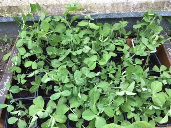 Divers plantes à fleurs, potagères.