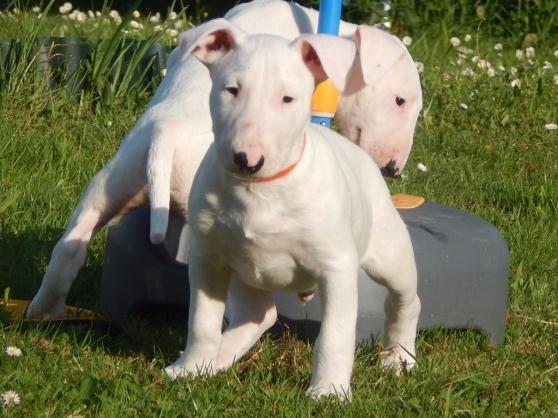 chiots bull terrier lof - Annonce gratuite marche.fr