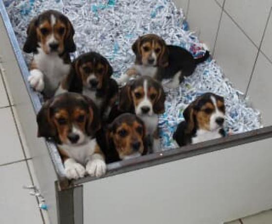 chiots beagle lof - Annonce gratuite marche.fr