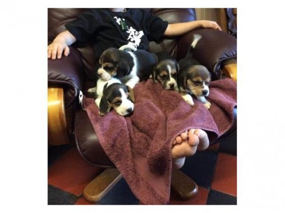 chiots beagle inscrits  au lof - Annonce gratuite marche.fr