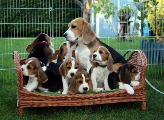 superbes chiots beagle lof - Annonce gratuite marche.fr