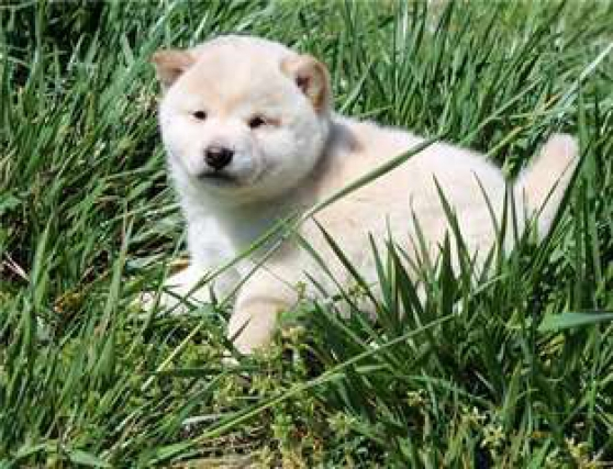 Donne ce nounours chiot shiba inuu