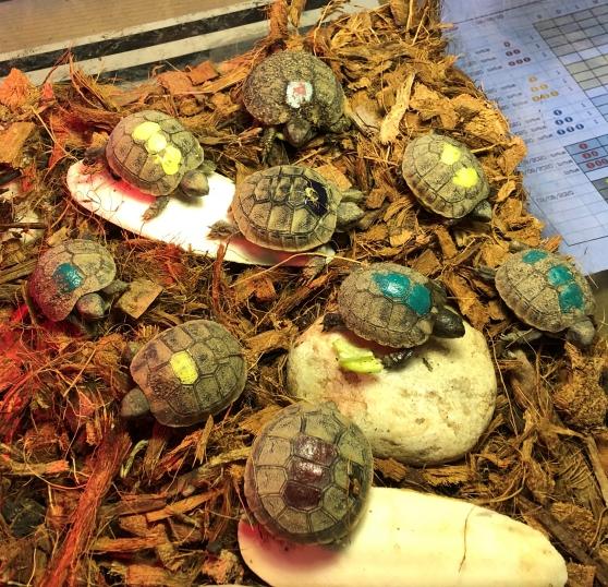 tortues de terre