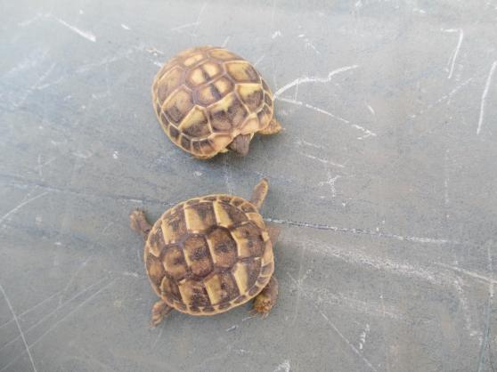 bébés tortue de terre hh 2018