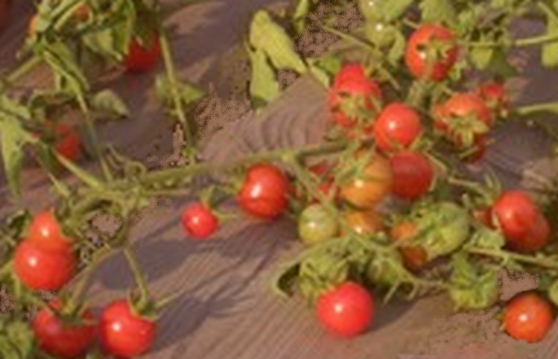 Annonce occasion, vente ou achat '40 graines de tomate petit moineau'