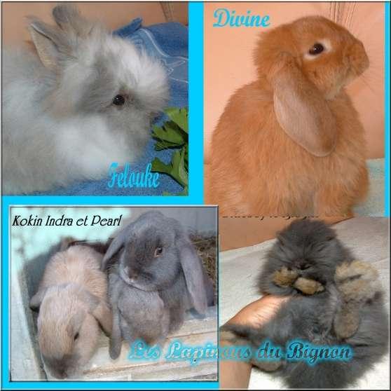 véritables lapins nains pure race