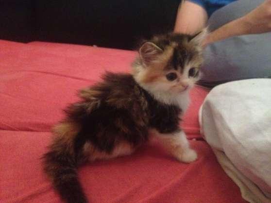 chaton type persan