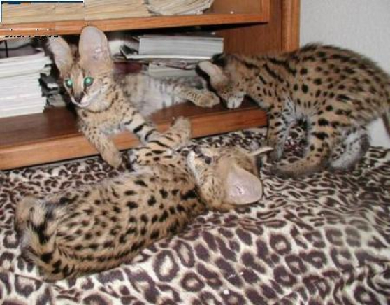 chats serval africain