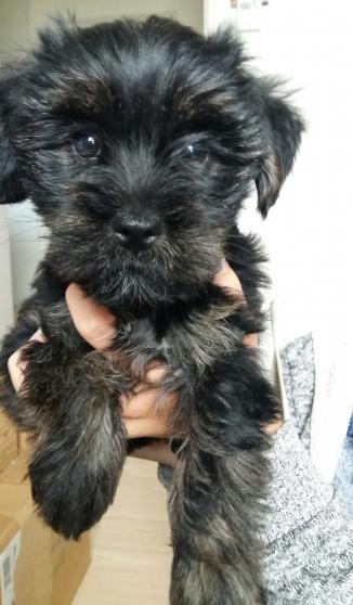 Chiots croises yorkshire caniche animaux chiens - Code postal maizieres les metz ...