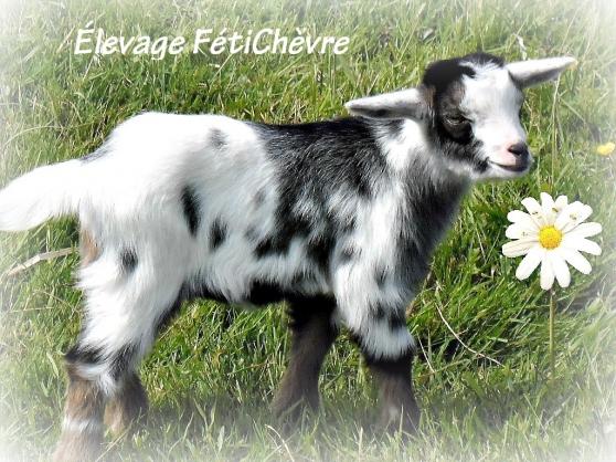 Annonce occasion, vente ou achat 'Chèvres naines et miniatures'