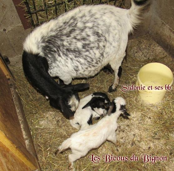 Adorables chèvres mini naines sans corne