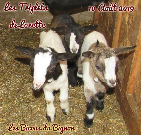 Adorables chèvres mini naines sans corne - Photo 2