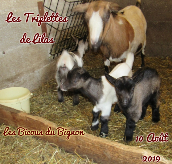 Adorables chèvres mini naines sans corne - Photo 3