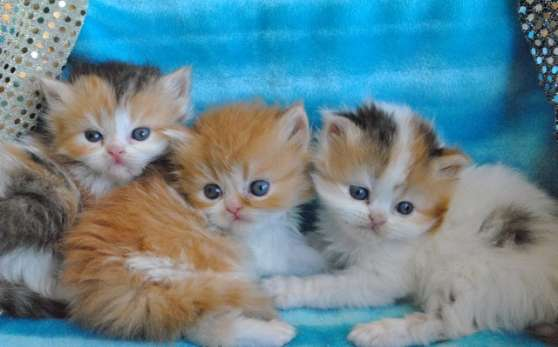 Adorables chatons type persans Disponibl