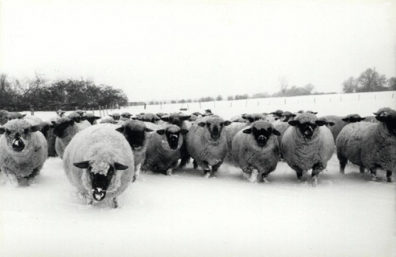 La race ovine Dorset