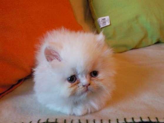 chatons persan
